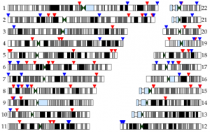 Figure 1c from Williams et al. (under review; on bioRxiv): locations of de novo gene conversion events plotted on the genome. Blue and red arrows indicate male and female transmissions, respectively.